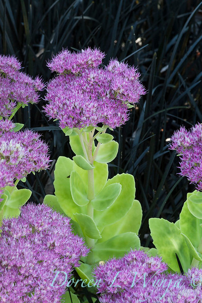 Sedum spectabile 'Neon' -  Ophiopogon planiscapus 'Nigrescens' - color combo_1731