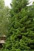 Sequoiadendron giganteum_2713