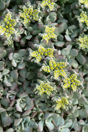 Sedum spathulifolium Cape Blanco_015