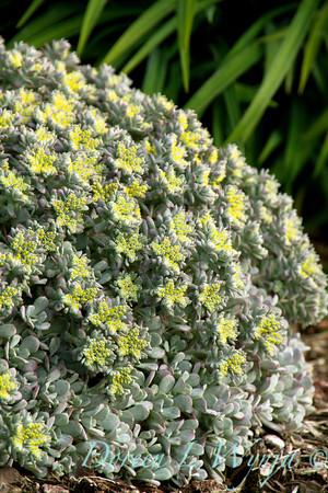 Sedum spathulifolium Cape Blanco_006