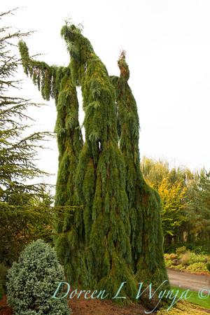Sequoiadendron giganteum Pendula_004
