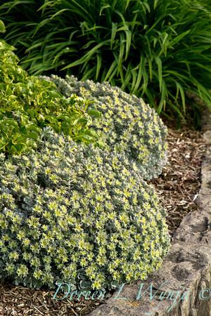 Sedum spathulifolium Cape Blanco_001
