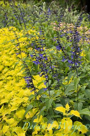 Salvia guaranitica 'Black & Blue' - Solenostemon scutellarioides 'Wasabi'_5258