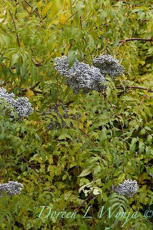 Sambucus nigra subsp cerulea_7048