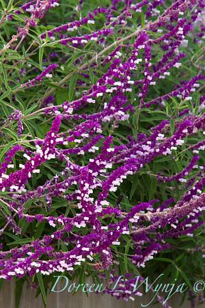 Salvia leucantha_036