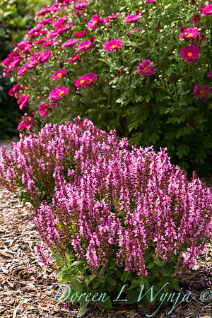 4434 Salvia nemorosa Sensation Rose_001