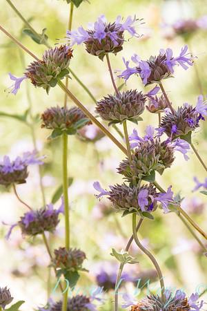 Salvia clevelandii_2312