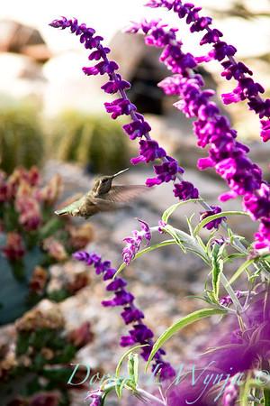 Salvia leucantha 'Santa Barbara' hummingbird_002M_5x