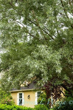 Salix alba sericea_007