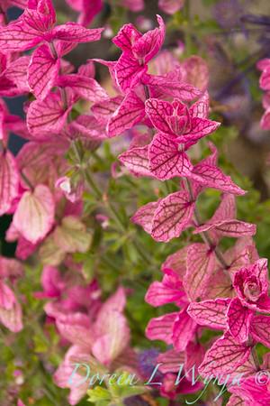 Salvia viridis_3767