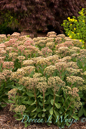 4997 Sedum Mr Goodbud_016