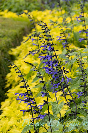 Salvia guaranitica 'Black & Blue' - Solenostemon scutellarioides 'Wasabi'_5255