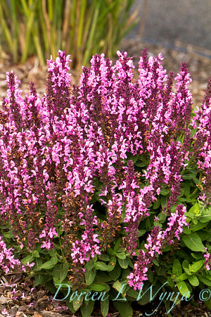 4434 Salvia nemorosa Sensation Rose_002