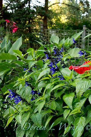 Salvia guaranitica Black and Blue_020