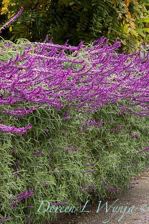 Salvia leucantha 'Santa Barbara' hedge_1264