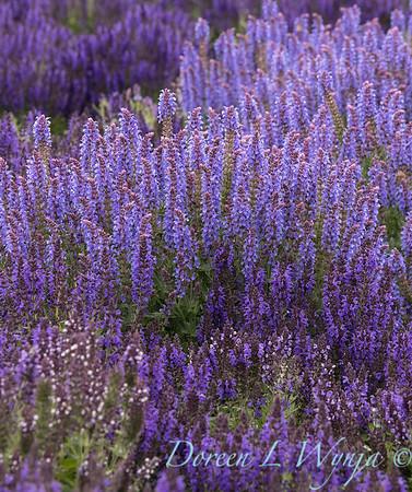 Salvia nemorosa 'Haeumanarc' Marcus_2518