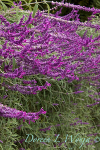 Salvia leucantha 'Santa Barbara' hedge_1269