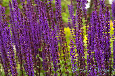 Salvia nemorosa Caradonna_034_Doreen Wynja