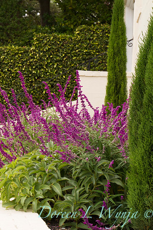 Salvia leucantha - Cupressus sempervirens 'Monshel' Tiny Tower_0548