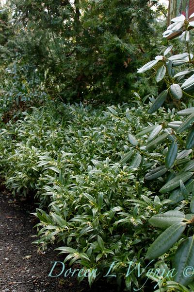 Sarcoccoca hookeriana var humilis_002