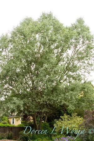 Salix alba sericea_003