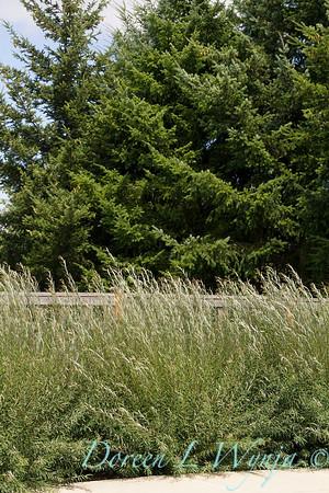 Salix purpurea Nana_0857