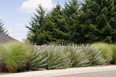 Salix purpurea Nana_0848