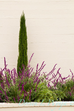 Salvia leucantha - Cupressus sempervirens 'Monshel' Tiny Tower_0547