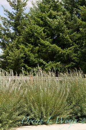 Salix purpurea Nana_0858