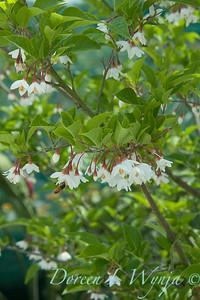 Styrax japonicus var  'Fargesii'_026