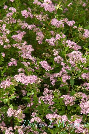 Spiraea japonica Little Princess_001