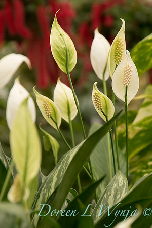 Spathiphyllum 'Petite' peace Lily_2712
