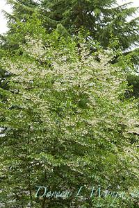 Styrax japonicus_043