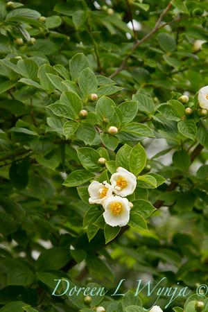 Stewartia pseudocamellia_022_Doreen Wynja