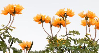 Spathodea campanulata golden_2599