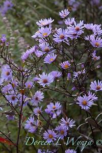 Symphyotrichum laeve 'Calliope' black stem Aster_2754