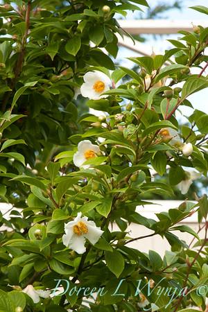 Stewartia pseudocamellia_011_Doreen Wynja
