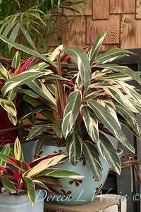 Stromanthe sanguinea 'Triostar' 'Tricolor' container garden_1935