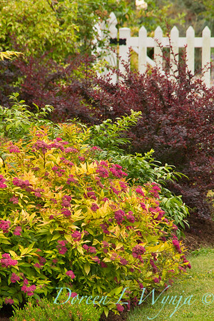 Spiraea japonica Goldflame_034