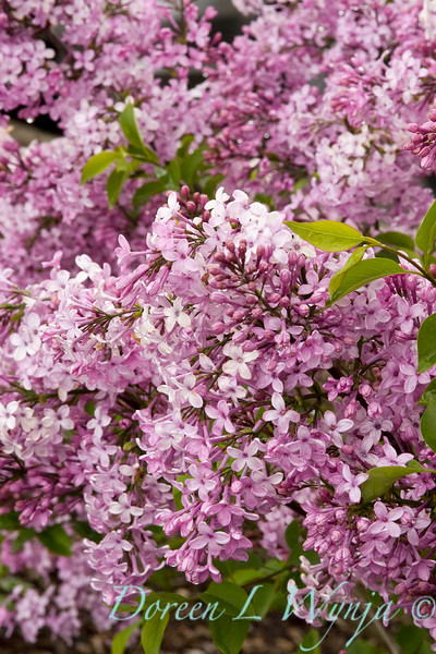 Syringa chinensis Lilac Sunday_005_Doreen Wynja