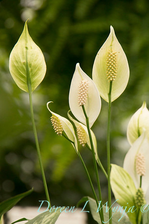 Spathiphyllum 'Petite' peace Lily_2711