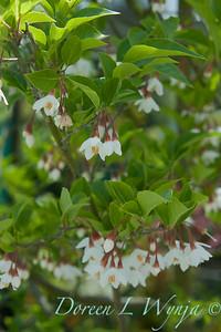 Styrax japonicus var  'Fargesii'_027