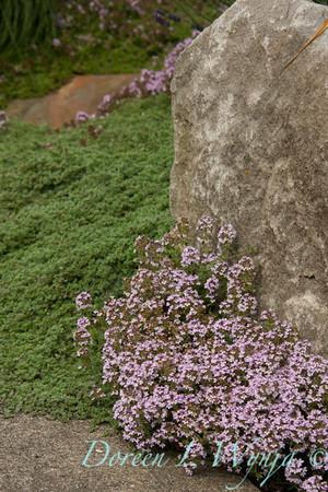 Thymus pseudolanuginosus_008_Doreen Wynja