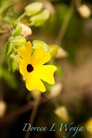 Thunbergia Sunny Lemon Star_002