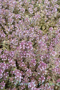 Thymus vulgaris 'Silver Posie'_1167