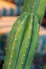 Trichocereus pachanoi_012