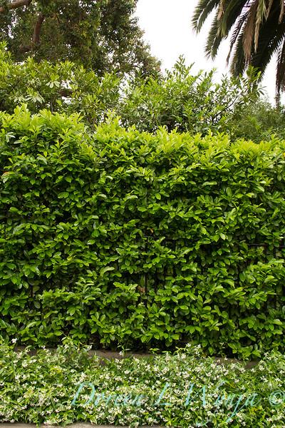 Trachelospermum jasminoides - Prunus laurocerasus_0297