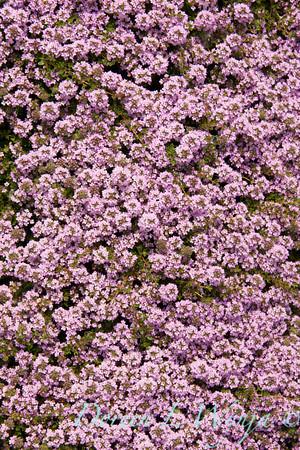 Thymus pseudolanuginosus_010