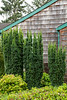 Taxus x media 'Hicksii' - Gaultheria shallon coastal garden_7271