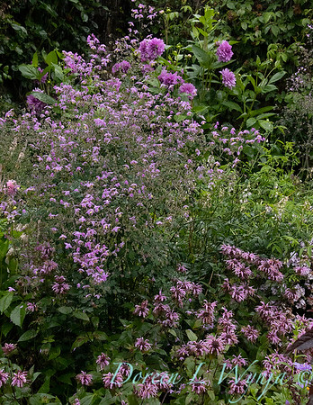 Thalictrum rochebruneanum  - Monarda 'Beauty of Cobham' - Dahlia - cottage garden_3600